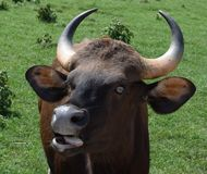 母Gaur牛 库存照片