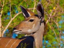 母kudu羚羊 库存照片