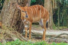 母Kudu羚羊 库存图片