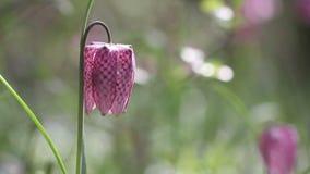 贝母meleagris开花的花看法与蜂的 股票录像