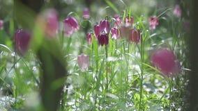 贝母meleagris开花的花看法  影视素材