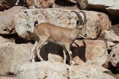 母Nubian高地山羊 库存图片