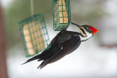 母Pileated啄木鸟, Dryocopus pileatus 寻找食物 免版税图库摄影