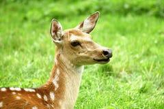 母sika鹿 免版税库存照片