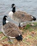 每加拿大查找另外两个的鹅 免版税库存图片