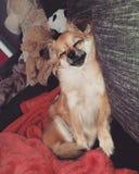 每天疲乏的狗 库存照片
