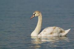 每年年轻疣鼻天鹅拉特 天鹅座olor是鸭子家庭的鸟在水的 免版税图库摄影