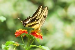 每日热带蝴蝶Papilio thoas,拉特 Papilio Thoas收集在一朵明亮的花的花蜜,马樱丹属拉特 马樱丹属 免版税库存图片