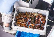 每日龙虾抓住 免版税图库摄影