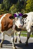每年季节性牲畜移动 免版税库存照片