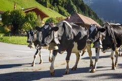 每年季节性牲畜移动 库存照片