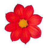 每年红色花大丽花 库存图片