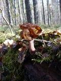毒不可食的蘑菇真菌 库存图片