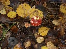 毒不可食的蘑菇红色伞形毒蕈 免版税图库摄影