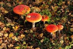 毒不可食的蘑菇红色伞形毒蕈 库存图片
