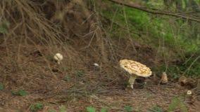 毒性狂放的蘑菇 股票视频