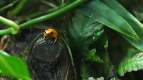 毒物在分支的箭青蛙 影视素材