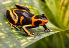 毒物箭青蛙亚马逊雨林 图库摄影