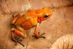 毒物箭青蛙从哥伦比亚的热带雨林的Oophaga histrionica 图库摄影