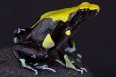 毒物箭青蛙/Dendrobates tinctorius 免版税库存图片