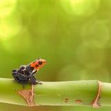 毒物箭头青蛙秘鲁雨林 免版税图库摄影