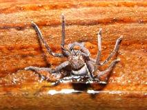 毒物蜘蛛 免版税库存图片