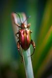 毒狗草叶子甲虫 库存图片
