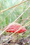 毒真菌在有植物的森林里 库存照片