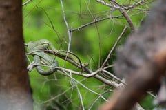 毒翠青蛇坐分支 库存图片