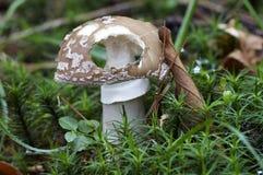 毒胭脂的蘑菇 免版税库存照片