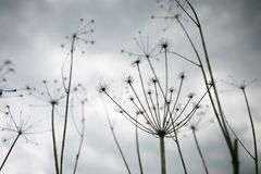 毒芹属maculatum 免版税库存照片