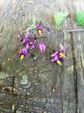 毒茄属植物 免版税库存照片