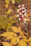 毒莓在秋天森林地地板上上升 库存图片