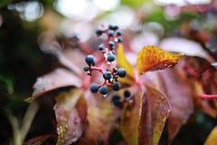 毒莓果细节在用水报道的秋天下降 库存图片