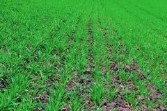 毒菌麦子 库存图片