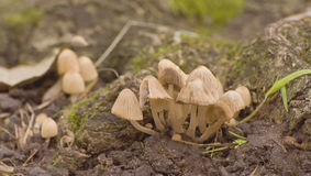 毒蘑菇 库存图片