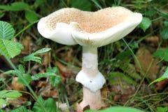 毒蘑菇 库存照片