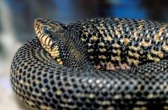 毒蛇Leioheterodon madagascariensis -马达加斯加人的巨型Hognose 库存图片