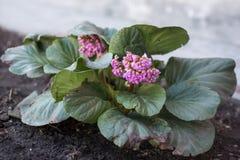 比一般小的花变粉红色花在庭院里开花 免版税库存图片