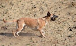 比利时人在沙子的Malinois狗 库存图片