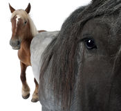 比利时人接近的马 免版税库存图片