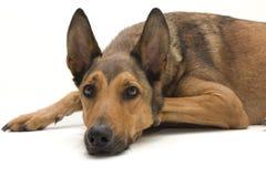 比利时休息的护羊狗 免版税图库摄影