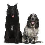 比利时斗鸡家狗英国牧羊人西班牙猎&# 库存图片