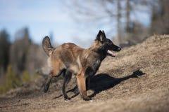 比利时牧羊人小狗赛跑 库存图片