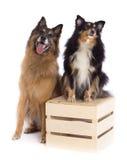 比利时牧羊人特尔菲伦和设德蓝群岛牧羊犬 免版税库存照片