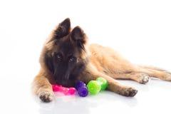 比利时牧羊人特尔菲伦小狗 免版税库存图片