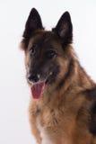 比利时牧羊人特尔菲伦母狗开会,特写 免版税库存图片
