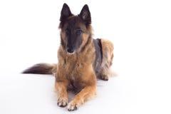 比利时牧羊人特尔菲伦母狗放下 免版税库存图片