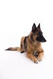 比利时牧羊人特尔菲伦母狗放下 免版税库存照片