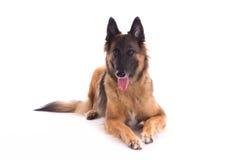 比利时牧羊人特尔菲伦母狗放下 图库摄影